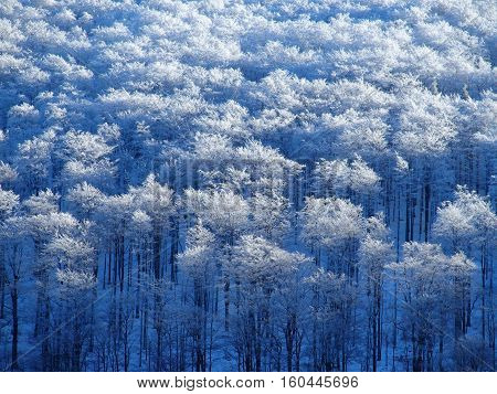 Forest snow covered with clear blue sky in Beskid Mountains near city of BIELSKO-BIALA in POLAND in cold sunny winter day, EUROPE on DECEMBER.