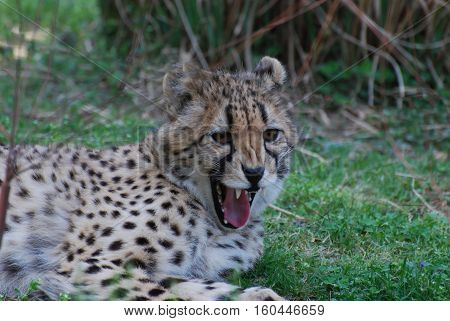 Cheetah with sharp teeth snarling with his mouth open.