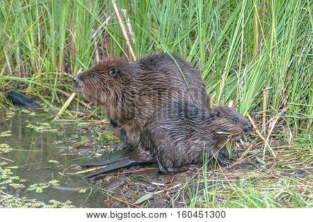 Cool Fun Beaver