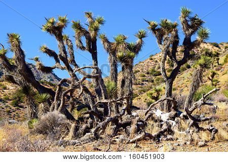 Cluster of Joshua Trees surrounded by sagebrush taken in the Mojave Desert, CA