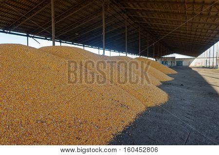 Corn grain stored in threshing floor after harvest