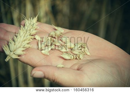 Farmer holding in hands ear and grains of wheat (Triticum) on field. Woman holds golden wheats spikelets