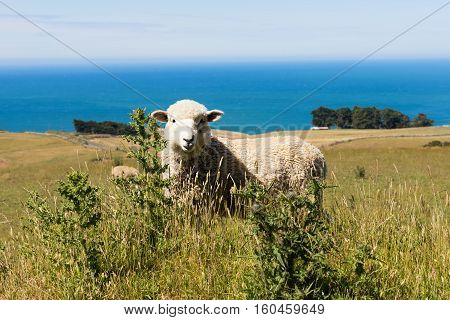 sheep in the grass field, New zealand