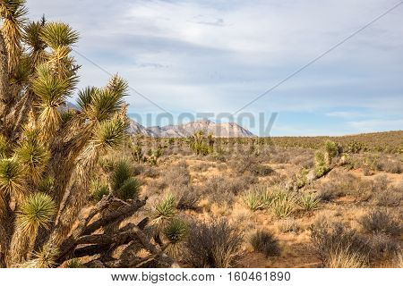Joshua Tree (yucca brevifolia) in the foreground of a desert scene. Mountains rising from the desert floor in the background with copy space in the sky.