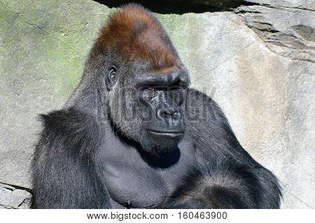 Lowland Western Gorilla sitting in the sun