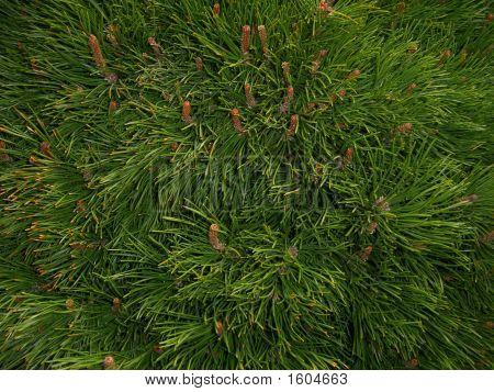 Pine Needle Texture