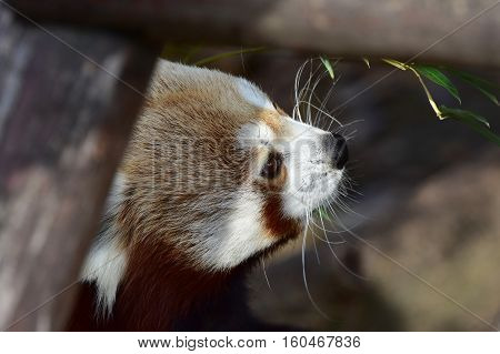 eating red panda zoological garden in Slovakia