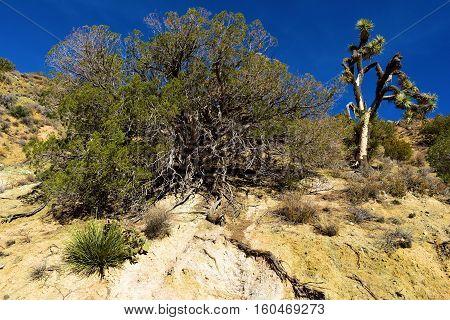 High Desert Terrain including Juniper Trees beside Joshua Trees taken in the Mojave Desert, CA