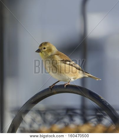 An American Goldfinch (Spinus tristis) perched on a feeder in Taneytown, Carroll County, Maryland, USA, shown in non-breeding plumage.