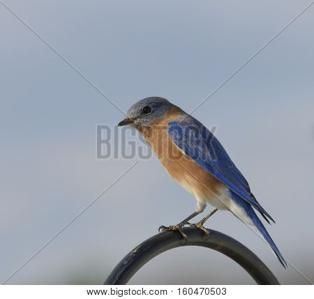 An Eastern Bluebird (Sialia sialis) perched on a shepherd's hook in afternoon sunshine, Taneytown, Carroll County Maryland, USA.