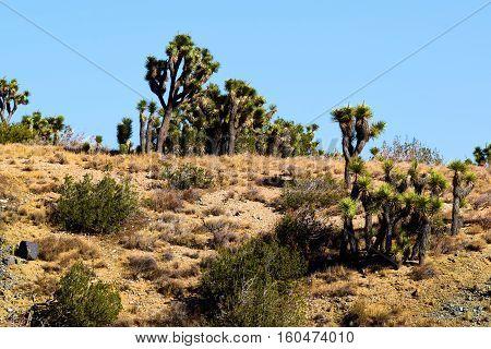 High Desert terrain including Joshua Trees beside Juniper Trees taken in the Mojave Desert, CA