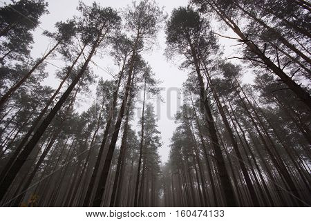 a old high and dark pine forest in eastern poland pine forest is one of the most popular forests in Poland.