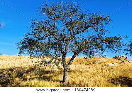 Lone Oak Tree taken at a rural field in the Western Sierra Nevada Foothills, CA