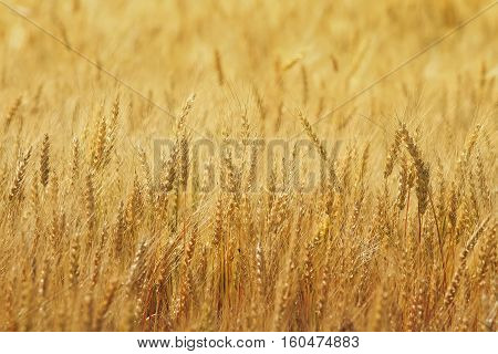 agricultural field with gold ears of wheat