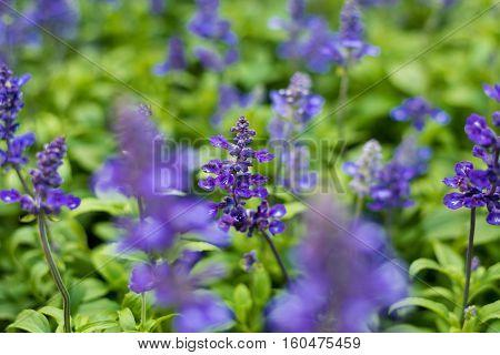 Blue salvia flowers, Sage, Backgrounds, Blossom, Botany, Bouquet, Flower, Flowerbed, Gardening, Lavender,