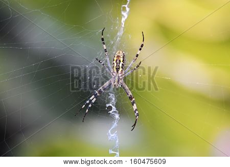 garden-spider sits in its web waiting for a prey