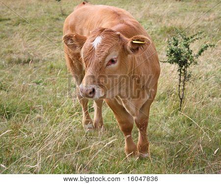 light brown cow