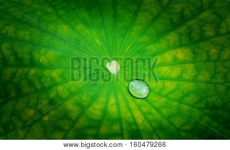 Lotus leaf with water drops bubble on texture dark border background, Survival concept