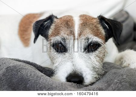 close up of a sleepy jack russell dog on sofa