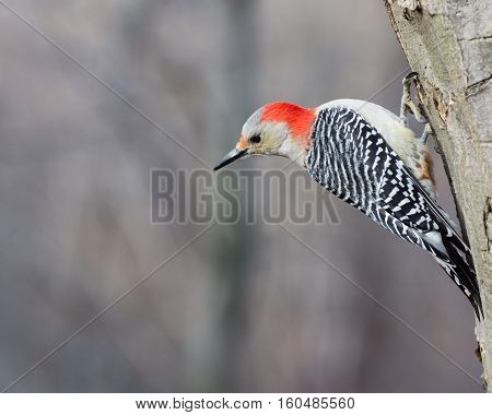 Male red-bellied woodpecker perched on a tree.