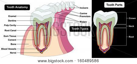 Human Tooth Cross Section anatomy enamel dentine pulp cavity gum tissue bone nerve blood vessels cement canal parts crown neck root teeth types incisors canine premolars molars dental medical diagram