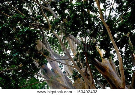 Branches of the tree. Leaves and bole.