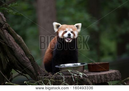 Western red panda (Ailurus fulgens fulgens), also known as the Nepalese red panda.