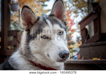 sled husky dog with blue eyes in Quebec country Canada