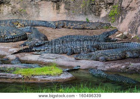 A Bask of Nile Crocodiles lying near a river