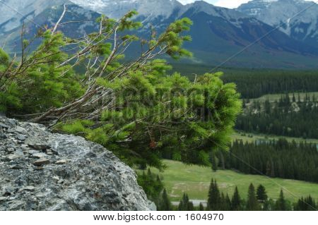 Mountain Pine Attached To Rock Above Valley