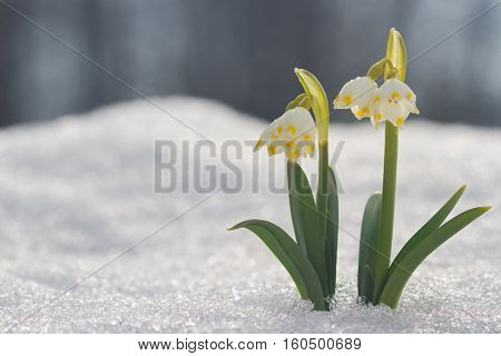 White Snowdrop Flower In Snow With Abstract Bokeh Background