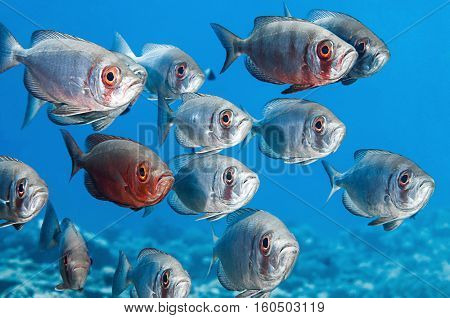 Shoal of Bigeye Fish