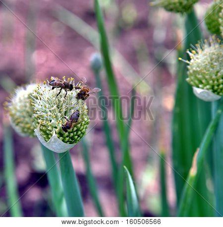 Honey Bee Nectaring On Onion Flowers