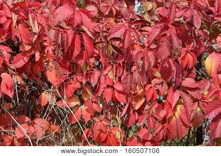 Virginia (American) five-leaf climbing ivy creeper autumn background