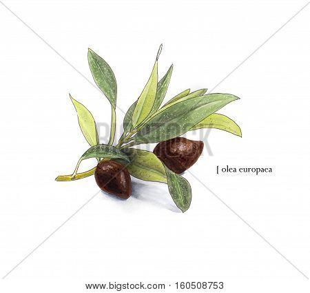 Hand drawn illustration olive branch. Sketch style
