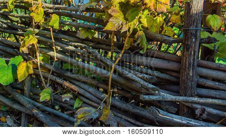 wooden wattle fence in autumn garden - abstract background. Ukraine