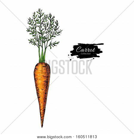 Carrot hand drawn vector illustration. Vegetable Isolated object. Detailed vegetarian food drawing. Farm market product.Great for menu, label, icon