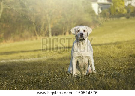 Young white purebred Labrador Retriever dog sitting on a lawn