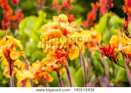 close up canna flower growing in a garden