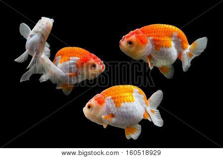 collection of goldfish isolated on black background