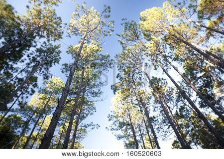 Looking up from below at the leafy green canopies of a copse of tall trees in a forest plantation against a blue sky