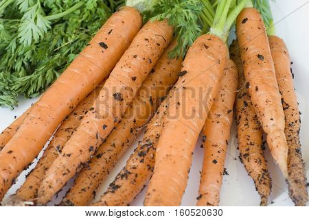 Freshly picked home grown carrots with adhering soil and green leaves in a close up view on a white background