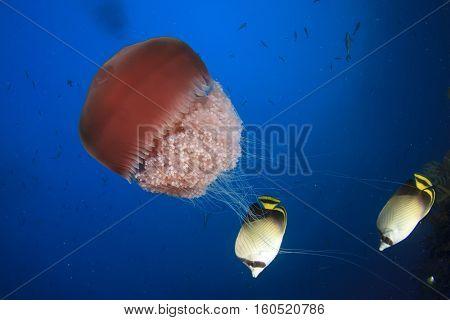 Jellyfish and butterflyfish fish underwater