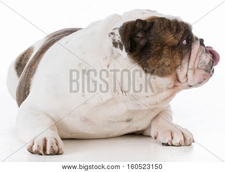 bulldog looking off to the side licking lips on white background