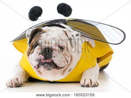 bulldog wearing bumble bee costume on white background