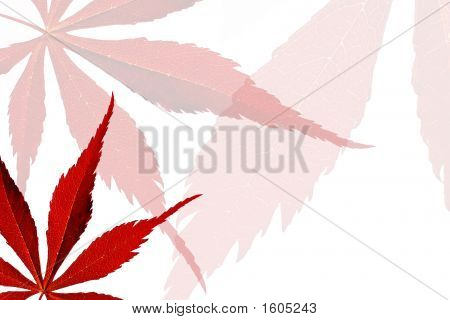 Backlit Red Maple Leaves