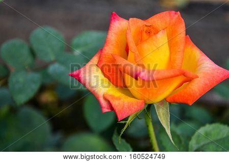 Orange roses are beautiful, elegant in its design.