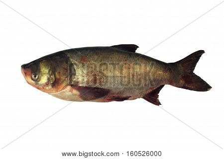 Big head carp isolated with white background. Hypophthalmichthys. Large cypring fish.