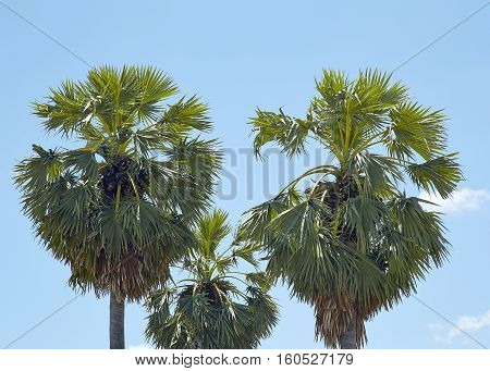 Three palm trees against the sky, natural, tropical, fronds, travel,