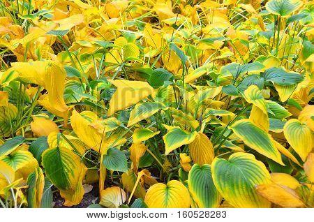 Autumnal Hosta Guacomole